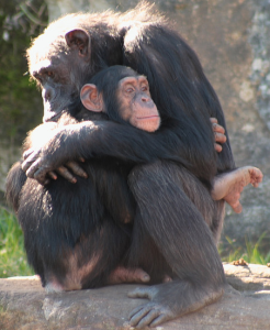 Comfort your chimp